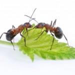 Des centaines de fourmis s'infiltrent chez vous?