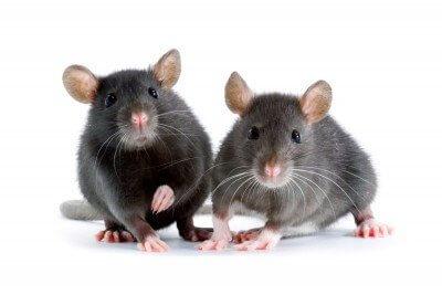 Les souris ou les rats ont envahi votre maison?