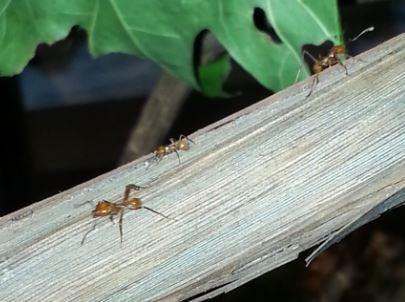 Les fourmis pharaons sur un arbre