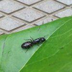 Des fourmis charpentières dans la maison, est-ce inquiétant?
