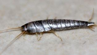 Le Lepisme Argenté Et La Thermobie Sont Des Nuisibles De La Maison - Insecte humidite salle de bain