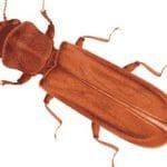 Le lycte brun, nuisible du bois, des meubles et des planchers