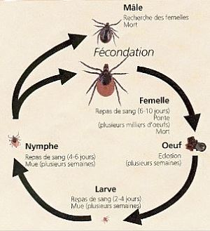 Tique cycle de vie