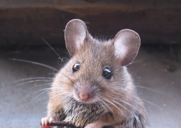 Se Débarrasser D Une Souris exterminer les souris c'est aussi la connaître et agir en prévention