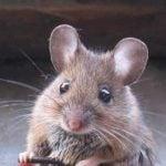 Des souris dans la maison? Il faut dératiser!