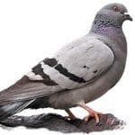 Le pigeon Biset