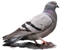 pigeon-extermination