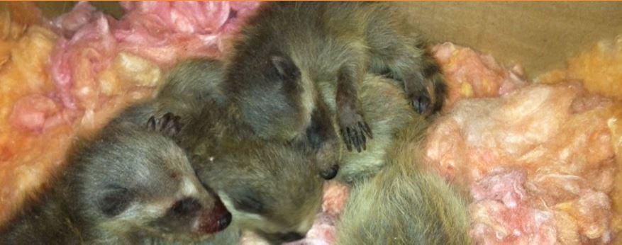 Capture de raton laveur bébés naissant