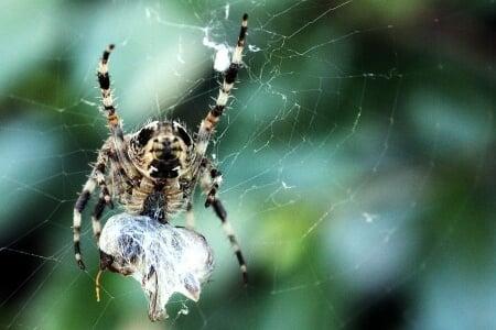 Araignée rayé