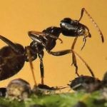 fourmis et puceron