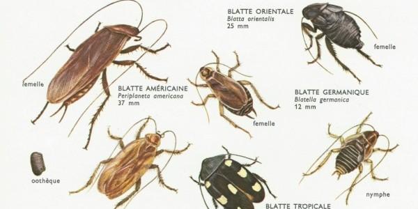 Des moyens pour exterminer les coquerelles soi-même