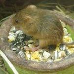 Rat qui mange des graines