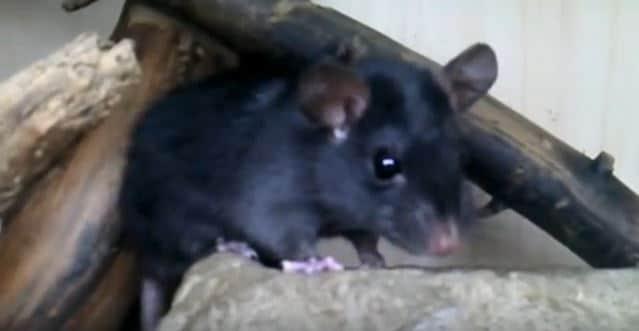 rat noir ratus ratus