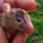 La souris grise
