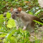 Le surmulot, un rat agressif