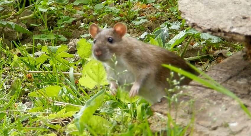 surmulot ou rat brun