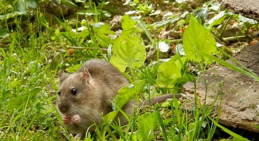 surmulot rat brun