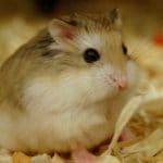 gentil hamster