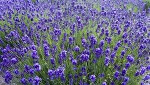 lavandre insecticide naturelle