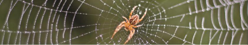 araignée dans une toile