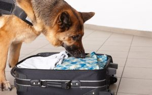 chien détecteur de punaise de lit