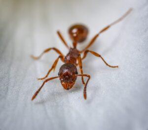 fourmi rousse