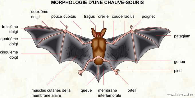 description de la chauve souris