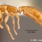Des espèces extraordinaires de fourmis