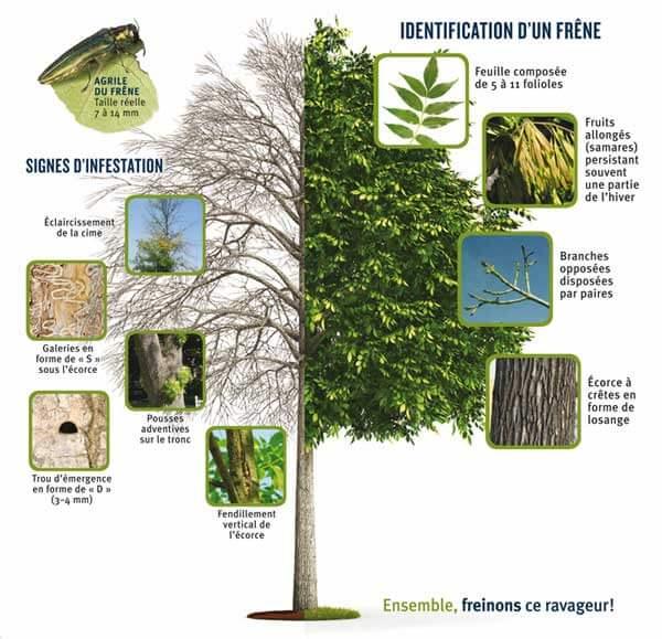 identifier agrile du frêne