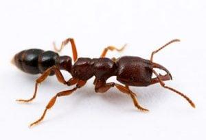 Amblyoponninae