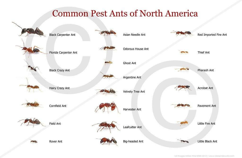 L'arbre génétique des fourmis et des sous-familles de formicidae