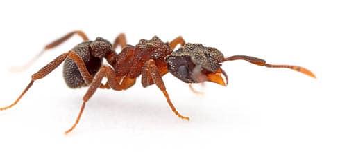 fourmis champignionniere