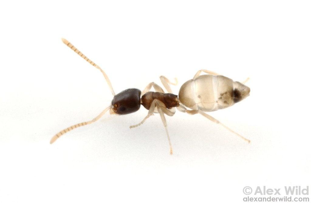 Fourmi fantôme - Tapinoma melanocephalum