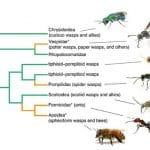 Arbre génétique des fourmis