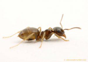 Description morphologique d'une fourmi