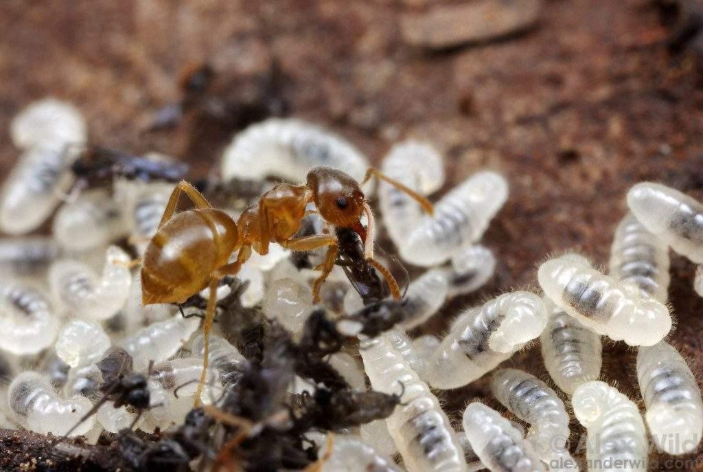 Fourmis travailleuse qui se nourrit decarcasses de moucherons