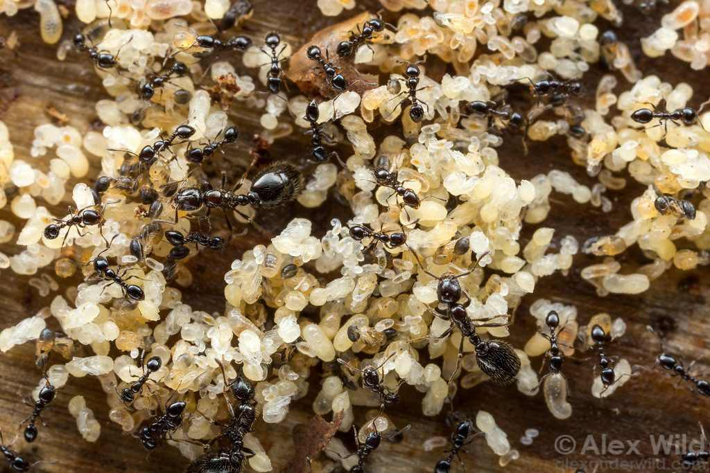 Colonie de petites fourmis noires, avec plusieurs reines