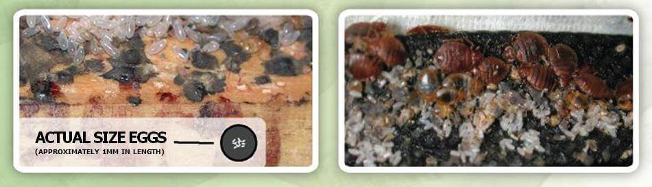 Oeufs et matières fécales laissés par les punaises de lit