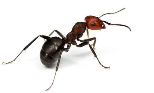 fourmis des champs