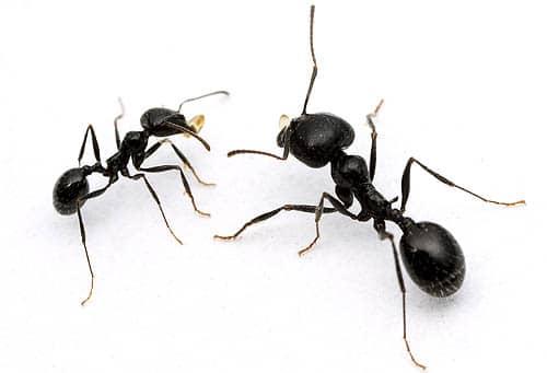 fourmis moissonneuses
