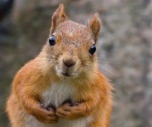 Image Écureuil l'écureuil: quelques conseils de prévention en cas d'infestation