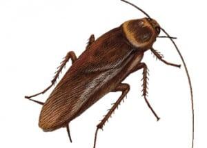 des coquerelles et blattes des cafards chez vous il faut les chasser. Black Bedroom Furniture Sets. Home Design Ideas