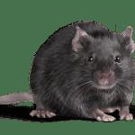 exterminateur rat