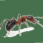 Des fourmis qui attaquent et qui piquent