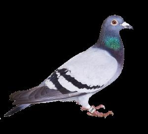 exterminateur pigeon