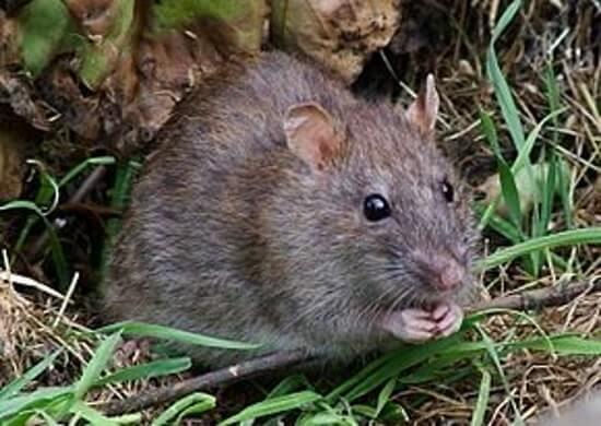 Surmulot - Rat brun - Rat d'égout